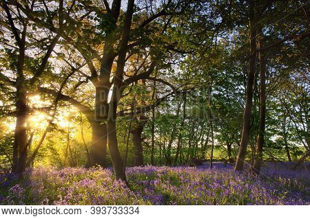 Bluebell Woods In Norfolk Uk With Dawn Sunrise