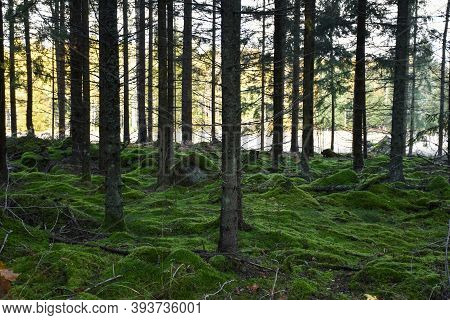 Green Mossy Ground In A Spruce Tree Forest In Fall Season