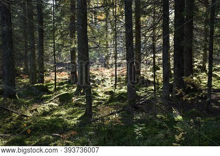 Beautiful Sunlit Spruce Tree Forest With A Mossy Ground