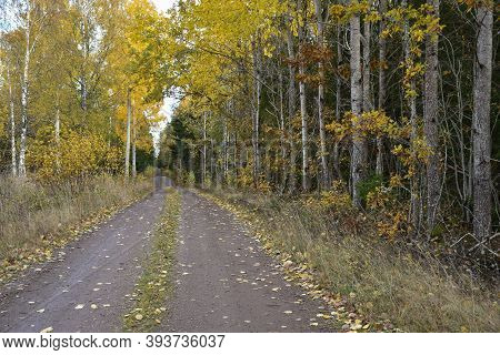 Forest Road With Fallen Aspen Leaves Ans Aspens By Roadside