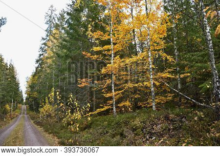 Beautiful Fall Colors By A Coniferous Forest Road