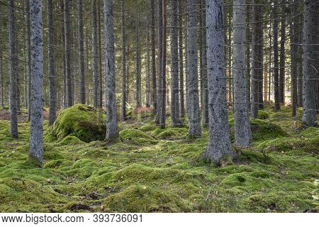 Mossgrown Ground In A Green Spruce Tree Forest In The Swedish Province Smaland