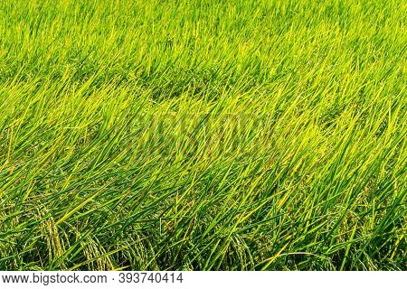 Close Up Green Rice Crop In The Field In Summer