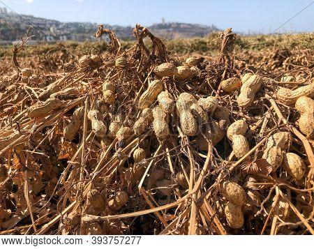 Peanut Harvest. Fresh Peanuts With Shells On Farmland.
