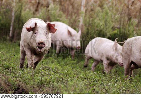 Pigs On Grass In Natural Pigfarm, Organic Pig Breeding Concept.