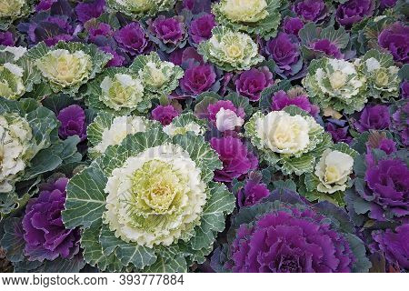 Ornamental Cabbages And Kales Grown As Foliage Plants For Their Intensely Colored Leaves