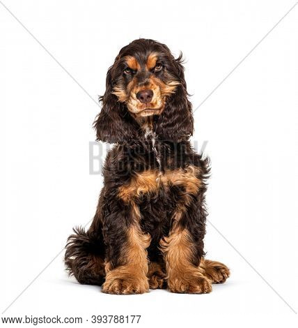 Brown English cocker spaniel dog sitting isolated on white