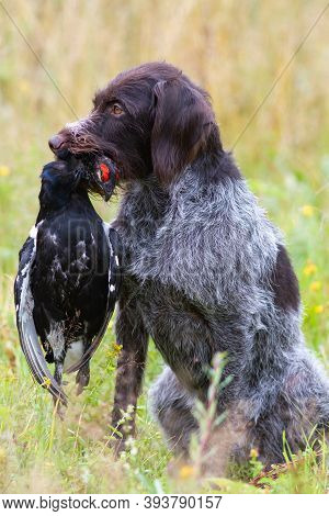 German Wirehaired Pointer Holds A Shot Black Grouse Cock By The Neck During Wildfowling