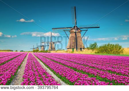 Beautiful Travel And Touristic Destination. Fantastic Colorful Tulip Fields With Old Dutch Windmills