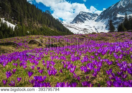 Beautiful Spring Landscape, Majestic Slopes With Fresh Colorful Purple Crocus Flowers And High Snowy