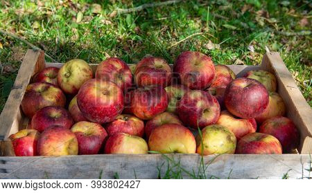 A Crate Of Fresh Apples On The Grass In Garden