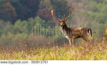 Big Fallow Deer Stag Standing On Meadow In Autumn Nature