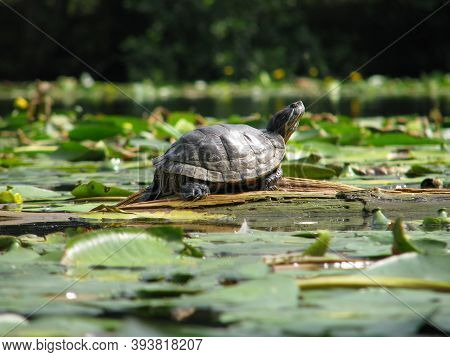 Trachemys Scripta Among Water Lilies Leaf. Red-eared Turtle In The River. Turtle In A Cold Pond., Li