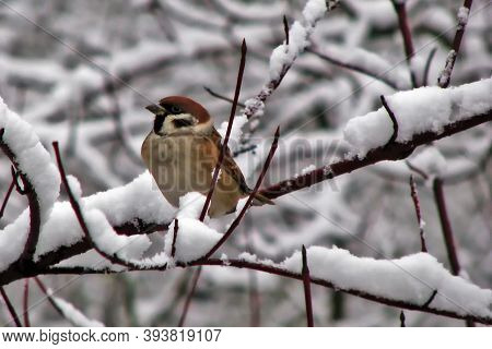 Sparrow Close-up On A Snow Covered Branch. Little Bird In The Cold Season. Sparrow Sitting On A Snow