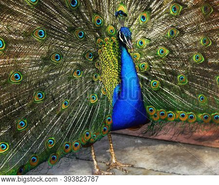 Beautiful Indian Peacock With Peacock Feathers In The Peacocks Tail