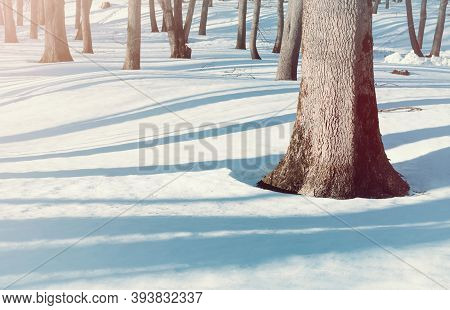 Winter landscape, wonderland winter forest, bare forest winter trees and snowdrifts on the foreground. Winter forest sunny scene, forest trees in the winter forest, winter forest landscape, winter forest scene