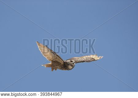 Cape Eagle Owl, Bubo Capensis, Adult In Flight Against Blue Sky