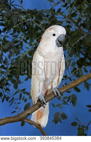Salmon-crested Cockatoo Or Moluccan Cockatoo, Cacatua Moluccensis, Adult Standing On Branch