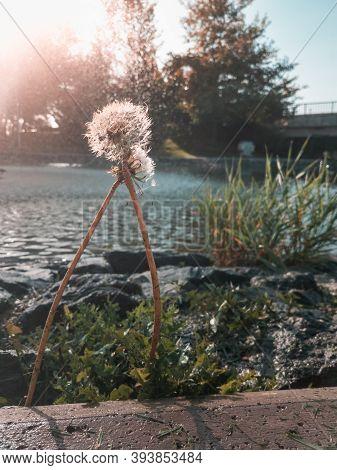 Selective Focus On Dandelion Flowers Near A Pond In A Public Park.
