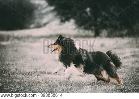 Shetland Sheepdog, Sheltie, Collie. Running Outdoor In Summer Grass. All Colors Except Yellow Are Re