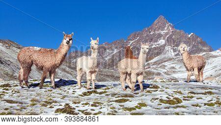 Llama Or Lama, Group Of Lamas On Pastureland,  Andes Mountains, Peru