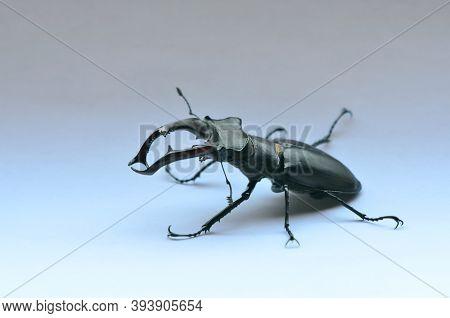 Male Stag Beetle Lucanus Cervus On The White Background. Stag Beetle Lucanus Cervus, The Largest Eur