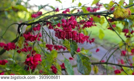 Autumn Berries On A European Spindle. A Branch With Pink Poisonous Open Fruits Of A European Spindle