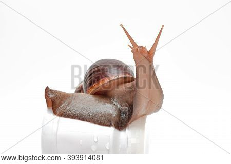 A Large Snail On A White Jar, Snails And Their Mucus Components For Skin Care In Cosmetology, Altern