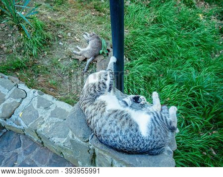 Tabby Cat With A White Belly Sleeps On The Curb By A Lamppost