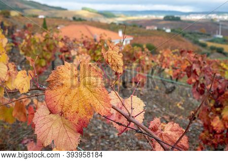 Oldest Wine Region In World Douro Valley In Portugal, Colorful Very Old Grape Vines Growing On Terra