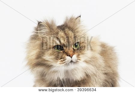 Persian Cat Golden Chinchilla