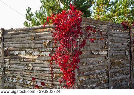 Bright Red Decorative Grapes (parthenocissus Quinquefolia, Known As Virginia Creeper, Victoria Creep