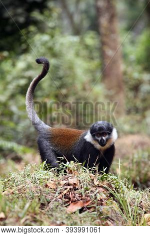 L'hoest's Monkey (cercopithecus Lhoesti) Standing On The Grass Hill In The Jungle. Rarity Monkey On