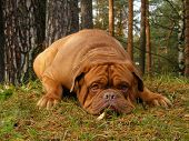 Sad chestnut french mastiff lying onn the ground in autumn forest poster