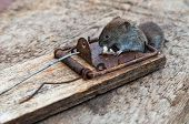 A dead mouse caught in a mousetrap poster