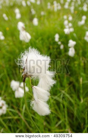 White Flower Of Cottongrass (eriohorum Angustifolium)