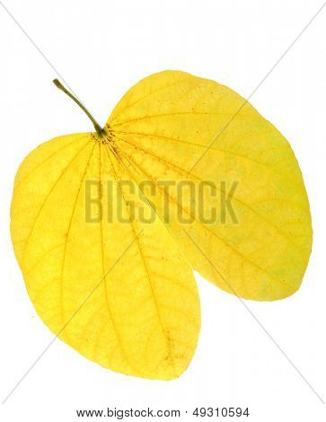 Leaf isolated in white background