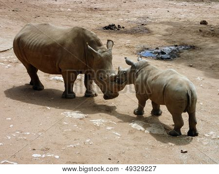 Mother And Son Rhino