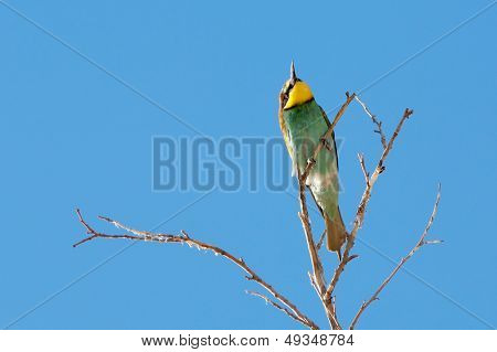 flying bee-eater(merops apiaster) and the blue sky poster