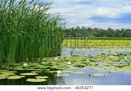 Cane And Lilies On The Lake