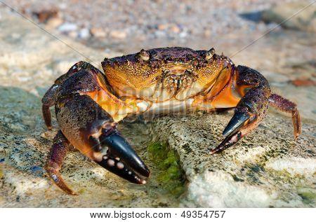 Large Stone Crab