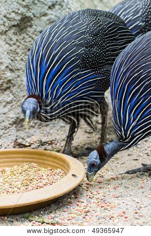 Blue Turkey Eating