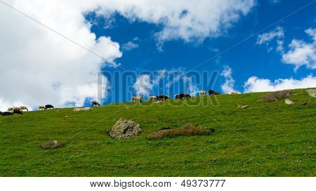 Herd of sheep on a green hill against the background of dark blue sky