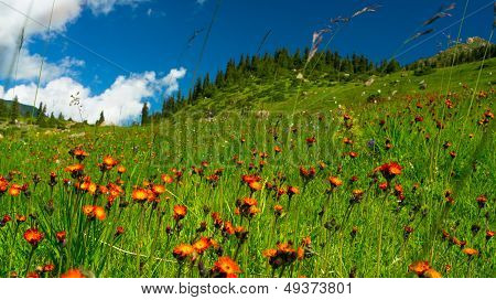 Hills, meadows in orange flowers and a green grass
