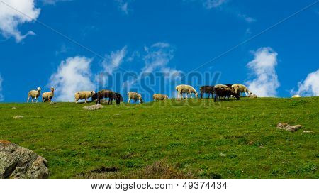 Green hill and herd of the sheep against the background of dark blue sky