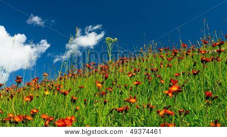 Meadows in orange flowers and a green grass
