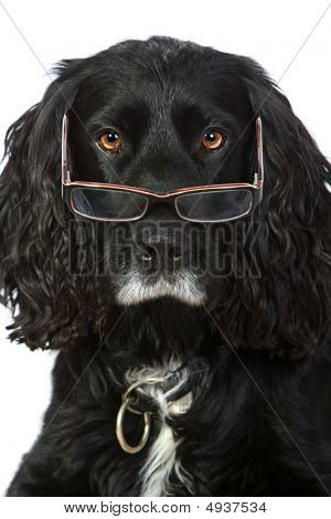 Intelligent Looking Cocker Spaniel With Glasses