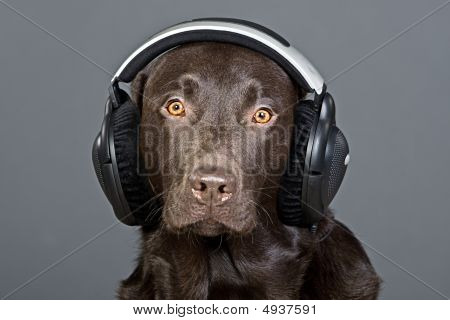 Shot Of A Labrador Listening To His Headphones