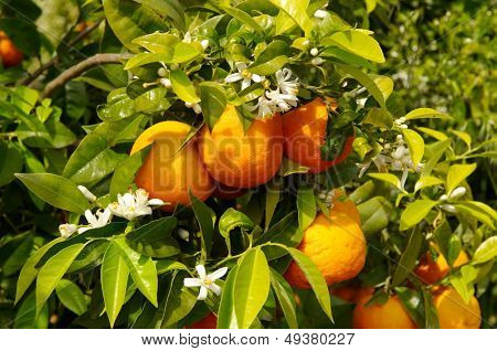 orange trees with fruits and flowers on plantation