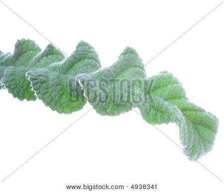 Streptocarpus.